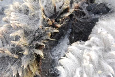 Cheviot fleece